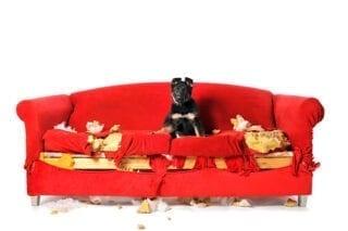 Perro en un sofá destrozado. Entiende a tu animal de compañía.
