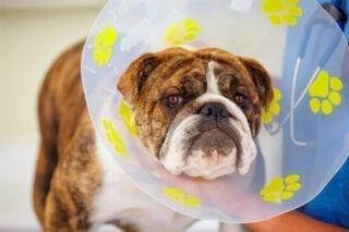 Perro con un collar isabelino. Recuperación de los animales.